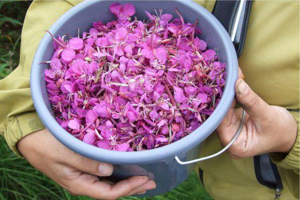 Заготовка разных частей иван-чая в домашних условиях