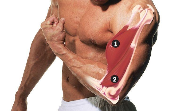Анатомические особенности бицепса
