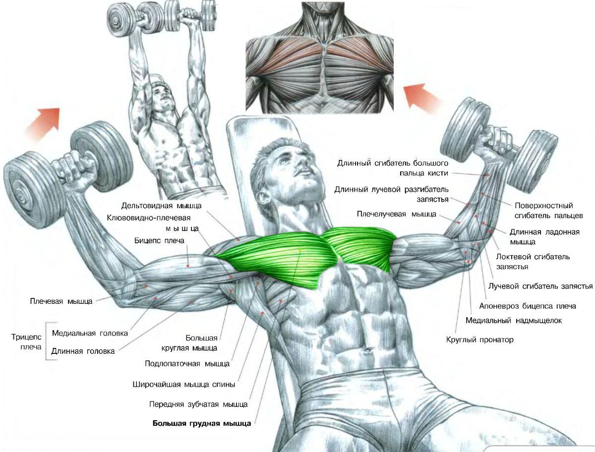 Лучшие упражнения на грудь
